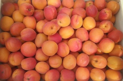 Abricots de Provence