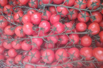Tomate cerise grappe du Maroc
